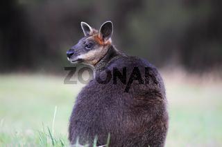 Sumpfwallaby (Wallabia bicolor)