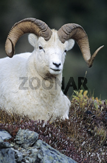 Dall-Schafwidder beobachtet den Fotografen - (Alaska-Schneeschaf) / Dall Sheep ram looking towards to the photographer / Ovis dalli