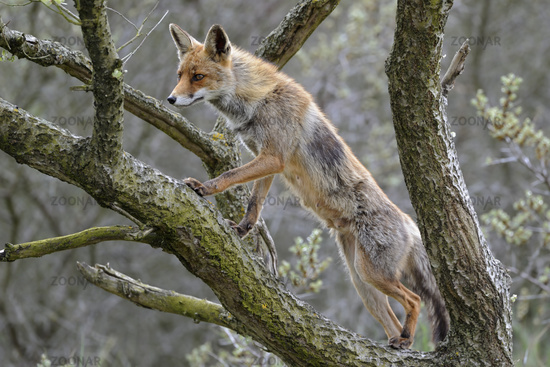 up in a tree... Red fox *Vulpes vulpes*