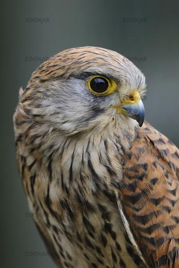 Portrait... Kestrel *Falco tinnunculus*