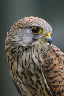 Portrait... Turmfalke *Falco tinnunculus*