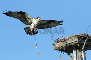 Landing Osprey (Pandion haliaetus)