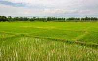 Rice paddy fields in Terai, Nepal