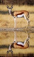 Springbok, Botswana