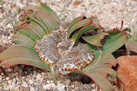 Welwitschia Mirabilis in the landscape of Namibia, Palmwag concession