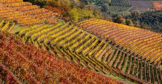 Autumnal vineyards in row.