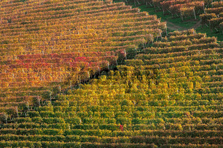 Autumn vineyards in Italy.