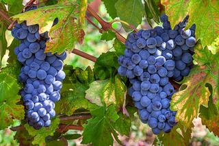 Ripe grapes of Piedmont, Italy.