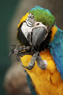 Portrait of parrot ara macao cleaning its foot