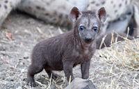 young hyena, south africa, wildlife, Crocuta crocuta