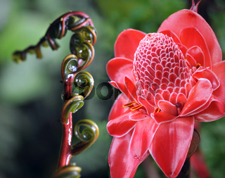 Closeup of Plant from  jungle Torch Ginger, Phaeomeria Magnifica. Amazonia, Ecuador