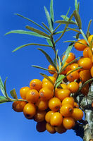 Seabuckthorn the fruit has high vitamin C content