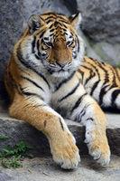 Junger Amurtuger, Sibirischer Tiger (Panthera tigris altaica) ,