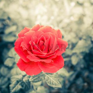 Romantic rose flower in summer garden