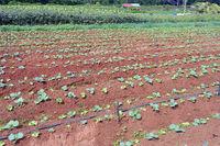 Gemüseanbau auf der Insel Mahe, Seychellen