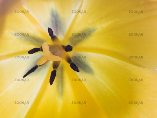 macro of yellow tulip flower