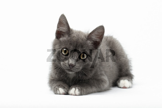 Gray Kitty Lies on White and Looking in Camera