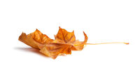 Bright orange maple leaf on white background