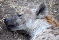 sleeping hyena, south africa, wildlife, Crocuta crocuta