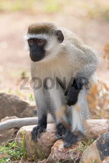 Vervet monkey sitting on rock in sunshine