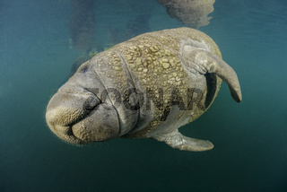 Trichechus manatus latirostris, Florida Seekuh, West Indian Manatee, Homosassa Springs, Florida, USA