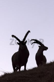 Alpensteinbock (Capra ibex), Nationalpark Hohe Tauern, Österreich, Europa