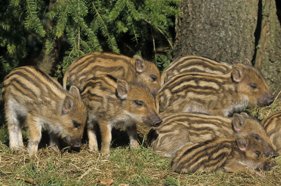 Wild Boar piglets lying close together and sleep