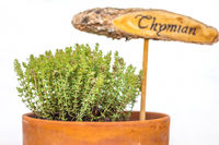 Flowerpot with thyme plant
