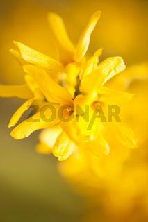 Forsythia yellow flowering plant