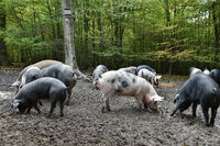 forest hogs