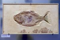 Versteinerung eines Kugelzahnfisches (Mesturus verrucosus), Muse
