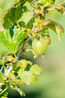 Gooseberry bush with green berries
