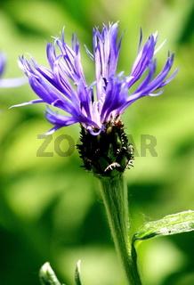 blaue Bume, Flockenblume
