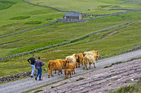 Crofter driving a herd of Scottish Highland Cattle, Assynt, Scotland, Great Britain