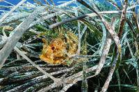 Scorpaena porcus, Small Black Scorpionfish