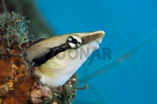 Falscher Putzerfisch, Komodo Nationalpark