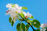 Apple tree blossom, macro