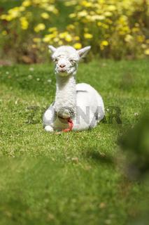 Baby llama lying on grass after feeding