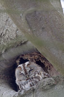 Tawny Owl the typical lifespan is 5 years