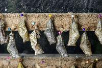 Schmetterlingspuppen (Chrysalises) eines Bananenfalters (Caligo sp.) zum Schlüpfen aneinandergereiht