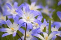 Chionodoxa luciliae - Lucile's glory-of-the-snow