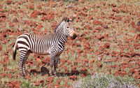 mountain zebra in the landscape of Namibia, Palmwag concession