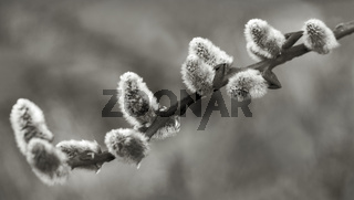 Weidenkaetzchen