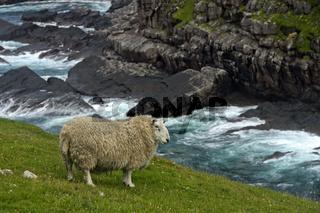Schaf mit dichter Wolle auf grüner Wiese vor dramatischer Felsküste, Schottland, Grossbritannien