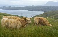 Herd of Scottish Highland Cattle on a pasture, Scotland, Great Britan