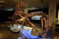 Das weltweit einmalige Skelettnachbildung eines (Spinosaurus aeg
