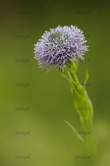 Globularia (Globularia bisnagarica)