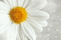 White daisy against a blur background