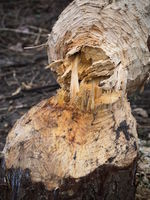 Beaver damage, fallen tree.