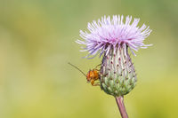 Red soldier beetle (Rhagonycha fulva) on thistle.
